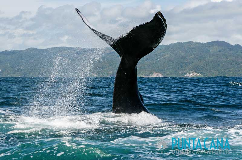 Whale watching tours from Punta Cana, Dominican Republic